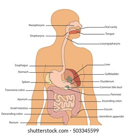 Labelled diagram of the digestive system product wiring diagrams human digestive system images stock photos vectors shutterstock rh shutterstock com labeled diagram of the digestive system bbc bitesize well labelled ccuart Images