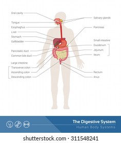 The human digestive system medical illustration with internal organs