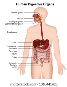 The human digestive system ,medical vector illustration on white background