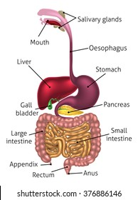 Human digestive system, digestive tract or alimentary canal including text labels