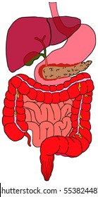 Human Digestive System tract vector diagram with all parts stomach bladder liver pancreas large small intestine rectum anatomical structure of abdomen anatomy of abdominal area science education