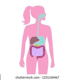 Human digestive system, vector illustration design