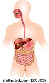 Human digestive system vector illustration
