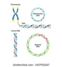 Human DNA - double helix, circular prokaryote chromosome (Bacterial DNA), and Mitochondrial DNA. Types of Deoxyribonucleic acid