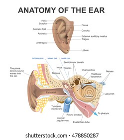 Human ear anatomy images stock photos vectors shutterstock the human ear consists of three parts the outer middle and inner the canal ccuart Image collections