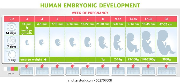 Human Embryo Development Infographics Stages Of Fetal Schematic Vector Illustration Medical Science