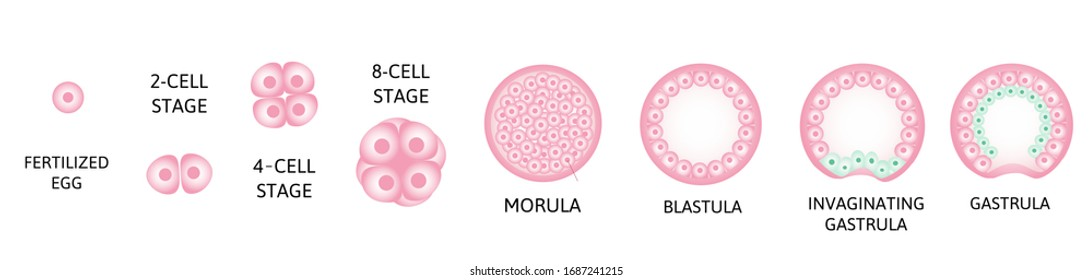 Human embryonic development, or human embryogenesis from zygote to gastrula. pink and green color. 2-cell, morula. Vector medical illustration