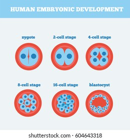 Human Zygote Images Stock Photos Vectors Shutterstock