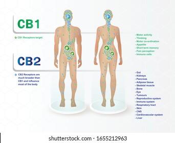 human endocannabinoid CB1 and CB2 Receptors target system active in human body.