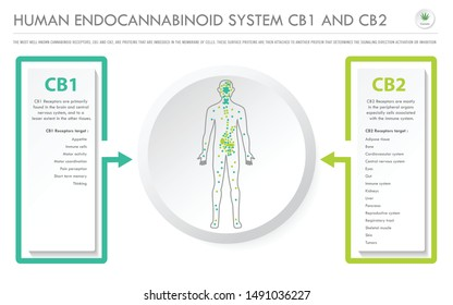 Human Endocannabinoid System CB1 and CB2 horizontal business infographic illustration about cannabis as herbal alternative medicine and chemical therapy, healthcare and medical science vector.