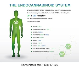 human endocannabinoid system with CBD1 & CBD2 receptor,vector infographic icon on white background and poster.