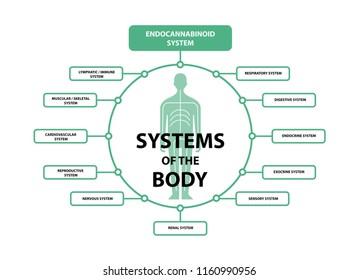 human endocannabinoid system receptors target system active in body.
