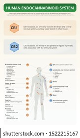 Human Endocannabinoid System vertical textbook infographic illustration about cannabis as herbal alternative medicine and chemical therapy, healthcare and medical science vector.
