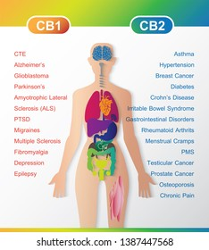 human endocannabinoid system work CB1 and CB2