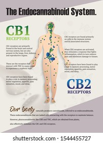 the human endocannabinoid system,effect CB1 and CB2 on body,vector infographic on white background.