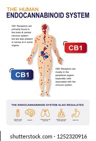 human endocannabinoid system,effect on body,vector infographic on white background.