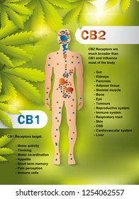 human endocannabinoid system,effect on body,vector infographic on cannabis natural background.
