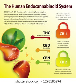 the human endocannabinoid system,effect on body,vector infographic on white background.