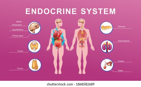 Human endocrine system, glands and their location in the body information vector illustration for education and familiarization