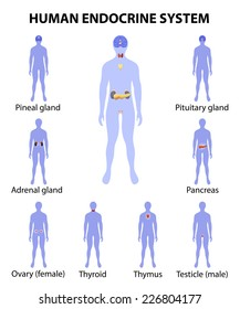 Human endocrine system. Human silhouette with endocrine glands. icons set.