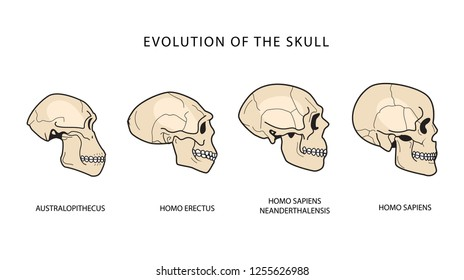 Human Evolution Of The Skull. Australopithecus, Homo Erectus. Neanderthalensis, Homo Sapiens. Historical Illustrations. Darwins Theory.
