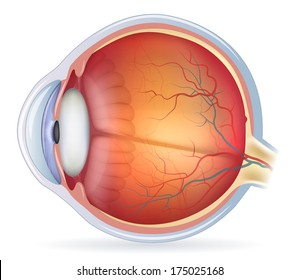 Human eye anatomy diagram, medical illustration. Isolated on a white background.