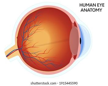 Human eye anatomy diagram, medical educational cross section illustration. Isolated on a white background.