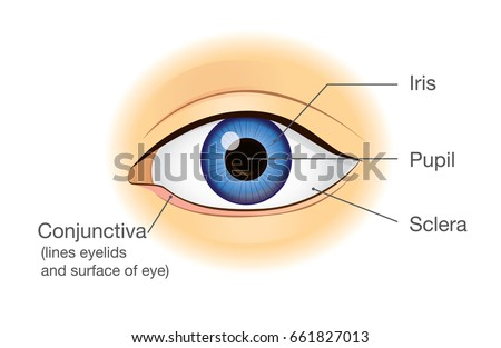 Human Eye Anatomy Front View Illustration Stock Vector Royalty Free