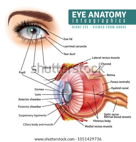 Human Eye Anatomy Infographics Outside View Stock Vector Royalty