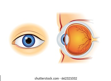 Human eye anatomy in inside and out side view isolated on white. Illustration about medical and science.