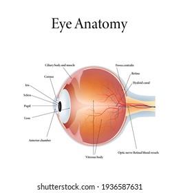 The human eye anatomy isolated on white background. Vector illustration.