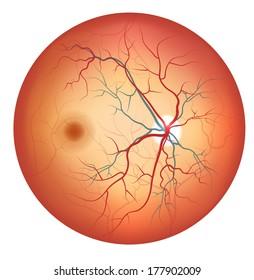 Retinal Arteries And Veins Images, Stock Photos & Vectors | Shutterstock