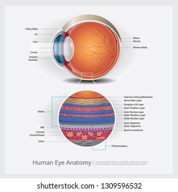 Human Eye Anatomy Vector Illustration