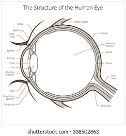 eye diagram images stock photos vectors shutterstock Eye Diagram Unlabeled human eye structure scheme medical vector illustration educational material
