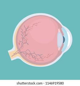 Human eyeball icon. Human eye structure. Vector illustration.