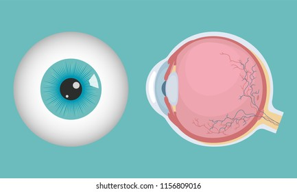 Human eyeball icon. Human eye structure. Vector illustration.