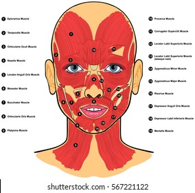 Human Face Muscles Anatomy labeled with names vector