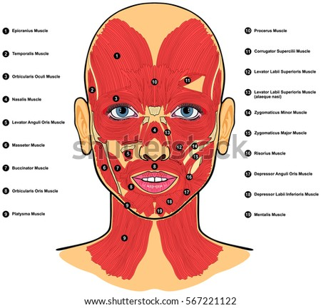Human Face Muscles Anatomy Labeled Names Stock Vector Royalty Free