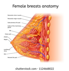 Human Female Breast Anatomy Detailed Vector Scheme with Labels in Cross Section View. Medical Infographic Chart, Human Physiology Illustration, Scientific Diagram with Human Organ Internal Structure