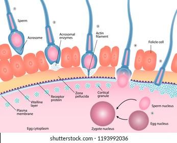 Human fertilization process of sperm and egg cell diagram, Reproductive system, Acrosomal reaction, vector illustration eps10