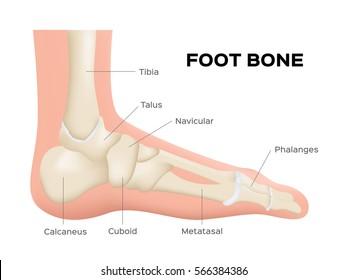 human foot bone anatomy . vector