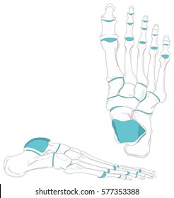 Human Foot Bones Anatomy Diagram in anatomical position Front and Lateral View with all bones and joints for Medical Education vector