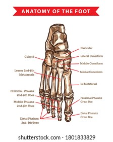 Human foot bones anatomy sketch design of vector orthopedics medicine. Skeleton leg ankle joints and toe phalanges, cuboid, metatarsal, navicular and cuneiform bones, hand drawn dorsal view of foot