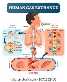Human gas exchange system vector illustration. Oxygen travel from lungs to heart, to all body cells and back to lungs as CO2. Red blood cells transporting oxygen from alveoli capillary to all organs.