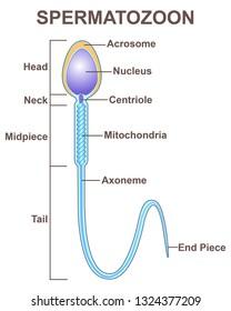 human germ cells-spermatozoon