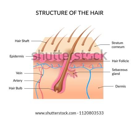 Human Hair Anatomy Infographics Cross Section Stock Vector Royalty