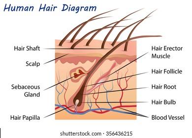 Hair Anatomy Diagram - Wiring Diagrams List on
