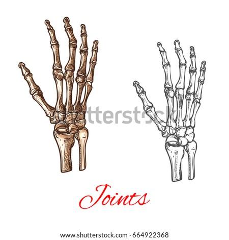 Human Hand Bones Joints Skeleton Vector Stock Vector (Royalty Free ...