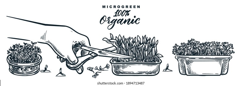 Human hand cuts microgreen sprouts in containers. Sketch vector hand drawn illustration isolated on white background. Natural organic food growing concept