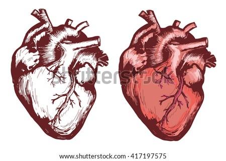 Human Heart Anatomical Heart Hand Drawn Stock Vector (Royalty Free ...